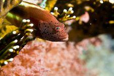 Free Freckled Hawkfish (paracirrhites Forsteri) Royalty Free Stock Photo - 5019555