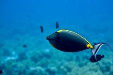 Orangespine Unicornfish (naso Elegans) Stock Image