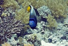 Free Red Sea Angelfish (Pomacanthus Maculosus) Royalty Free Stock Images - 5019759