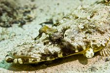 Free Indean Ocean Crocodilefish (papilloculiceps Longic Stock Photo - 5019810