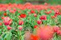 Free Beautiful Tulips In The Field Stock Photography - 5020802