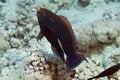 Free Parrotfish Royalty Free Stock Image - 5024466