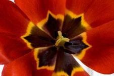 Free Red Tulip Stock Images - 5020014