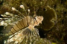 Free Comon Lionfish (pterois Miles) Royalty Free Stock Photos - 5020238