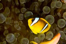 Free Red Sea Anemonefish (Amphipiron Bicinctus)and Bub Royalty Free Stock Photos - 5020278
