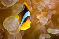 Free Red Sea Anemonefish (Amphipiron Bicinctus)and Bub Royalty Free Stock Photos - 5020298