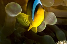 Free Red Sea Anemonefish (Amphipiron Bicinctus)and Bub Stock Photography - 5020302