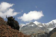 Free Wild Yak In Himalayas, Annapurna Royalty Free Stock Photo - 5021625