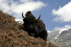 Wild Yak In Himalayas, Annapurna Royalty Free Stock Images