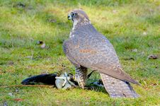 Free Saker Falcon Royalty Free Stock Images - 5022849