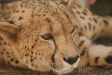 Cheetah Face Stock Image