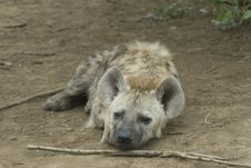 Free Young Hyena Stock Photography - 5023892