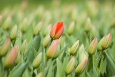 Free Tulip Stock Image - 5024031