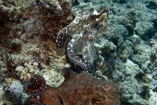 Reef Octopus (octopus Cyaneus) Stock Images