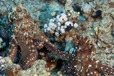 Free Reef Octopus (octopus Cyaneus) Mating Stock Photos - 5024423
