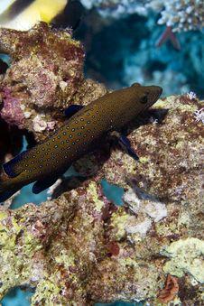 Free Peacock Grouper (cephalopholis Argus) Royalty Free Stock Photo - 5024425
