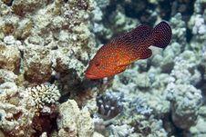 Free Coral Hind (cephalopholis Miniata) Royalty Free Stock Photos - 5024448