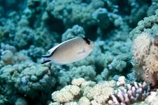 Free Zebra Angelfish Fem. (genicanthus Caudovittattus) Royalty Free Stock Photos - 5024468