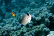 Free Zebra Angelfish Fem. (genicanthus Caudovittattus) Royalty Free Stock Image - 5024476
