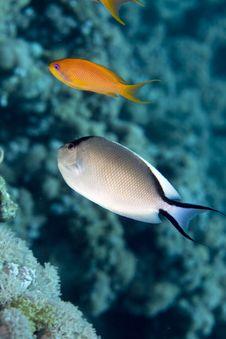 Free Zebra Angelfish Fem. (genicanthus Caudovittattus) Stock Images - 5024484