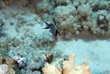 Free Zebra Angelfish Fem. (genicanthus Caudovittattus) Royalty Free Stock Image - 5024506