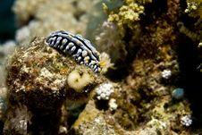 Free Varicose Wart Slug (phyllidia Varicosa) Royalty Free Stock Photos - 5024578