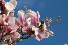 Free Detail Of A Magnolia Royalty Free Stock Photos - 5024638