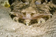 Free Indean Ocean Crocodilefish (papilloculiceps Longic Royalty Free Stock Photography - 5024757