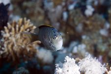 Free Zebra Angelfish Fem. (genicanthus Caudovittattus) Royalty Free Stock Photography - 5024867