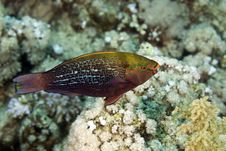 Dusky Parrotfish (scarus Niger) Royalty Free Stock Photo