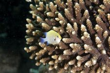 Red Sea Dascyllus (dascyllus Marginatus) Stock Images