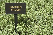 Free Garden Thyme (Thymus Vulgaris) Stock Photos - 5025093