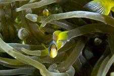 Free Red Sea Anemonefish (Amphipiron Bicinctus) Stock Photography - 5025132