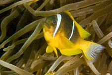 Free Red Sea Anemonefish (Amphipiron Bicinctus) Stock Images - 5025134