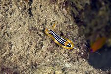 Free Pyjama Chromdorid (chromodoris Quadricolor) Royalty Free Stock Photos - 5025218