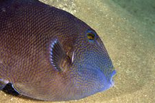 Free Blue Triggerfish (pseudobalistes Fuscus) Stock Image - 5025231