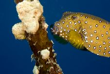 Free Bluetail Trunkfish Fem. (oastracion Cyanurus) Stock Photography - 5025352