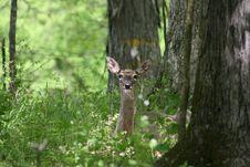 Free Whitetail Deer 1 Stock Photos - 5025483
