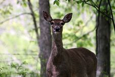 Free Whitetail Deer 2 Stock Photo - 5025490