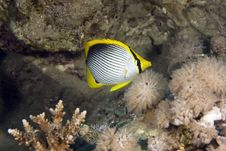 Free Blackbacked Butterflyfish (chaetodon Melannotus) Stock Images - 5025494