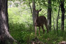 Free Whitetail Deer 3 Royalty Free Stock Images - 5025539