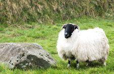 Free Dartmoor Sheep Stock Photo - 5025570