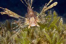 Free Comon Lionfish (pterois Miles) Stock Photography - 5025592