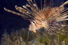 Comon Lionfish (pterois Miles) Stock Image