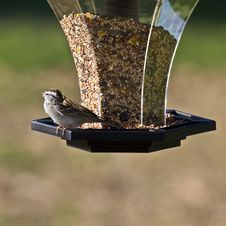 Free Chipping Sparrow Stock Photography - 5026182