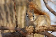 Free Nosy Squirrel Stock Image - 5026591