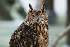 Free Owl Stock Photography - 5026822