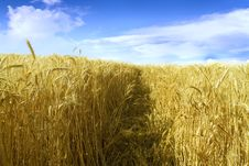 Free Wheat Field Royalty Free Stock Images - 5028079