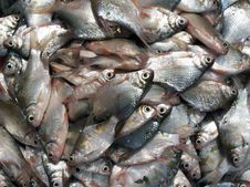 Free Bunch Of Fishes Royalty Free Stock Photo - 5028195
