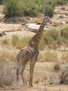 Free Giraffe Royalty Free Stock Images - 5028809